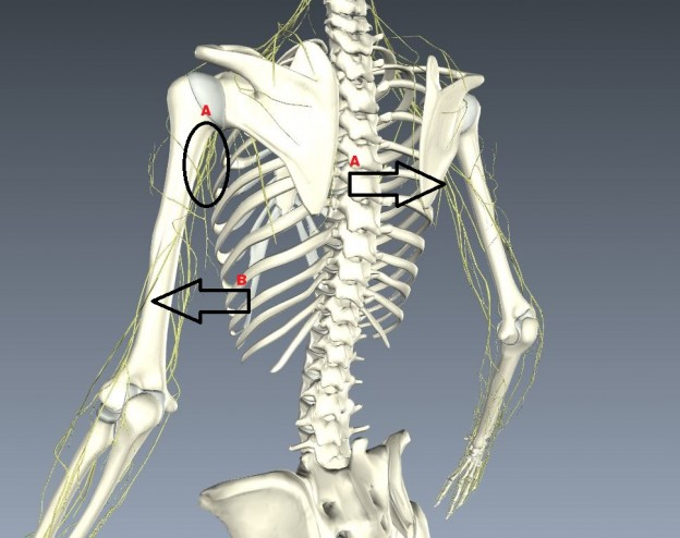 Upper body nerves 3D